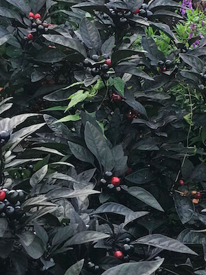 Two cultivars of ornamental chiles beautify this Washington, D.C. flowerbed (photo credit T. van der Ploeg).