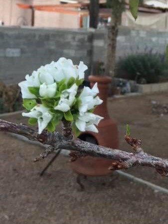 cherries in bloom sept 30 2018 stacia jacobi garcia 2
