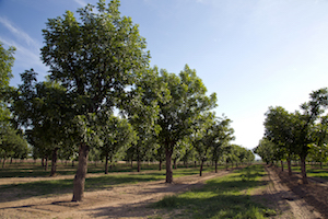pecan orchard 02