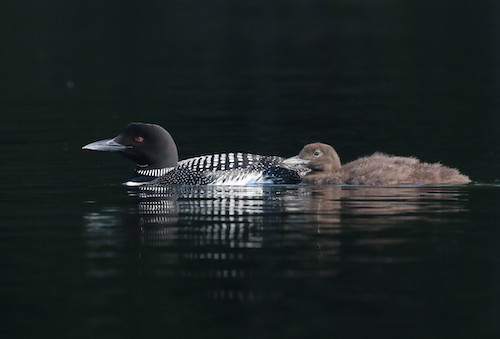 img_4166_paradox_loon_dad_with_chick_7-14-19.jpg