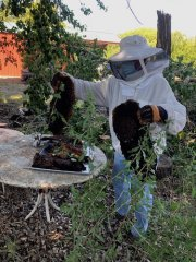 Beekeepers re-home bees
